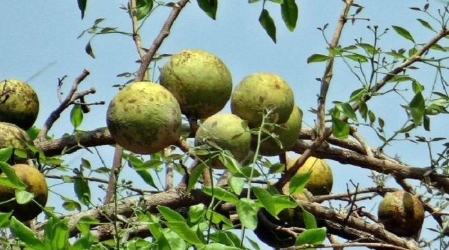 Необычные сорта яблок,айва бенгальская