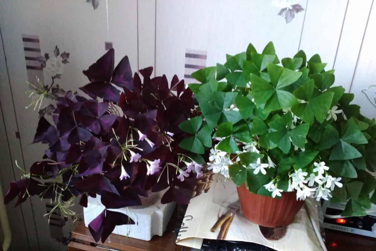 Зачем заводить дома оксалис: особенности комнатного растения