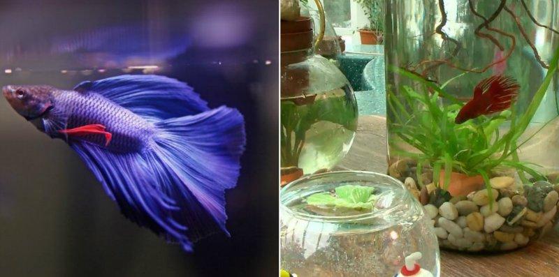 аквариум для петушка из банки