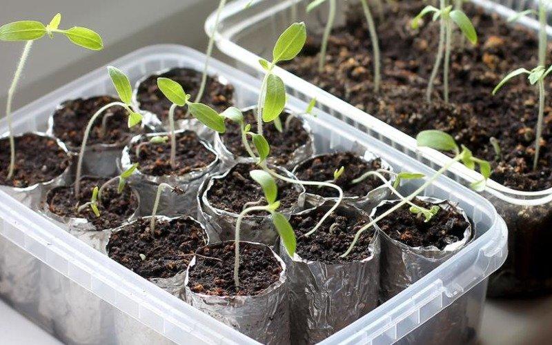как оживить рассаду