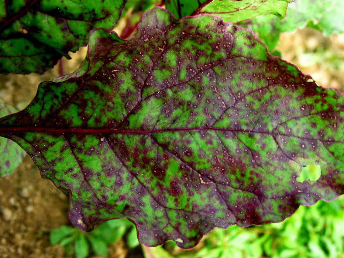 уход за листьями свеклы