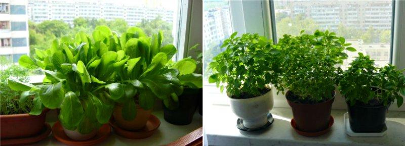 как вырастить зелень