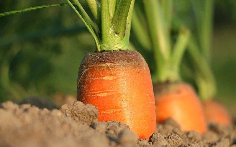 jak sadzić marchew