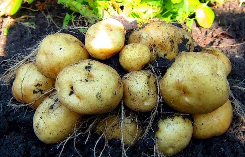 Чем обработать картофель перед посадкой от болезней