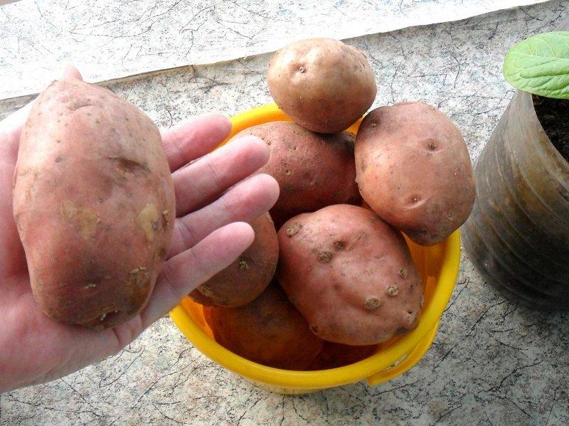 посадка зеленного картофеля