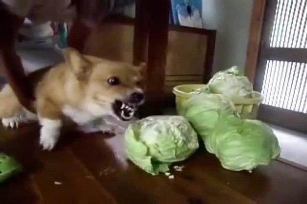 собака ест капусту