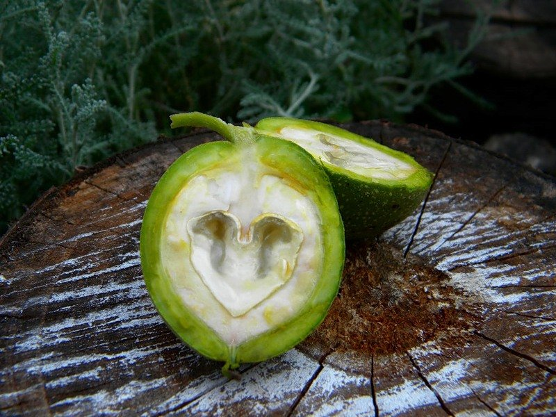 зеленые грецкие орехи свойства