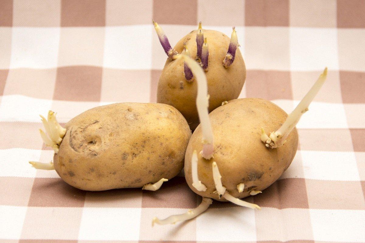 Проросший картофель: как извлечь максимальную пользу