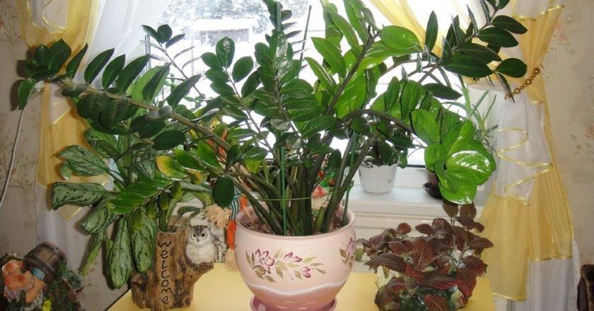 Растение замиокулькас уход