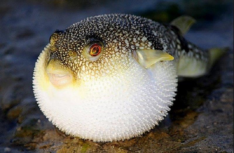 самая опасна рыба