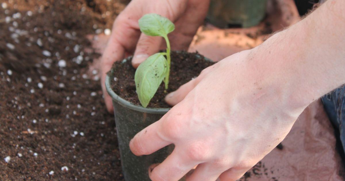 Садим базилик на даче: нюансы выращивания