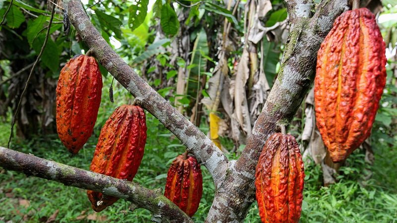 как добывают какао