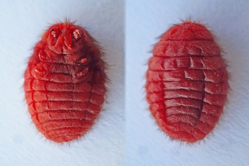 owady w Coca-Coli