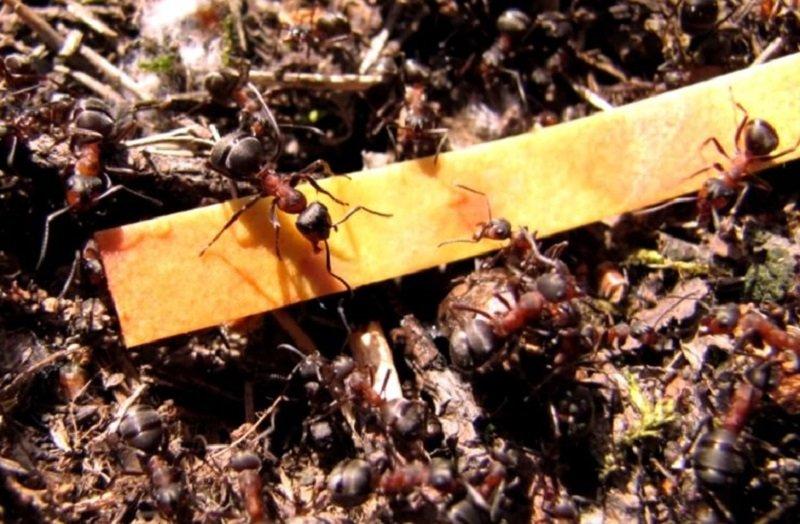 кислота из муравейника