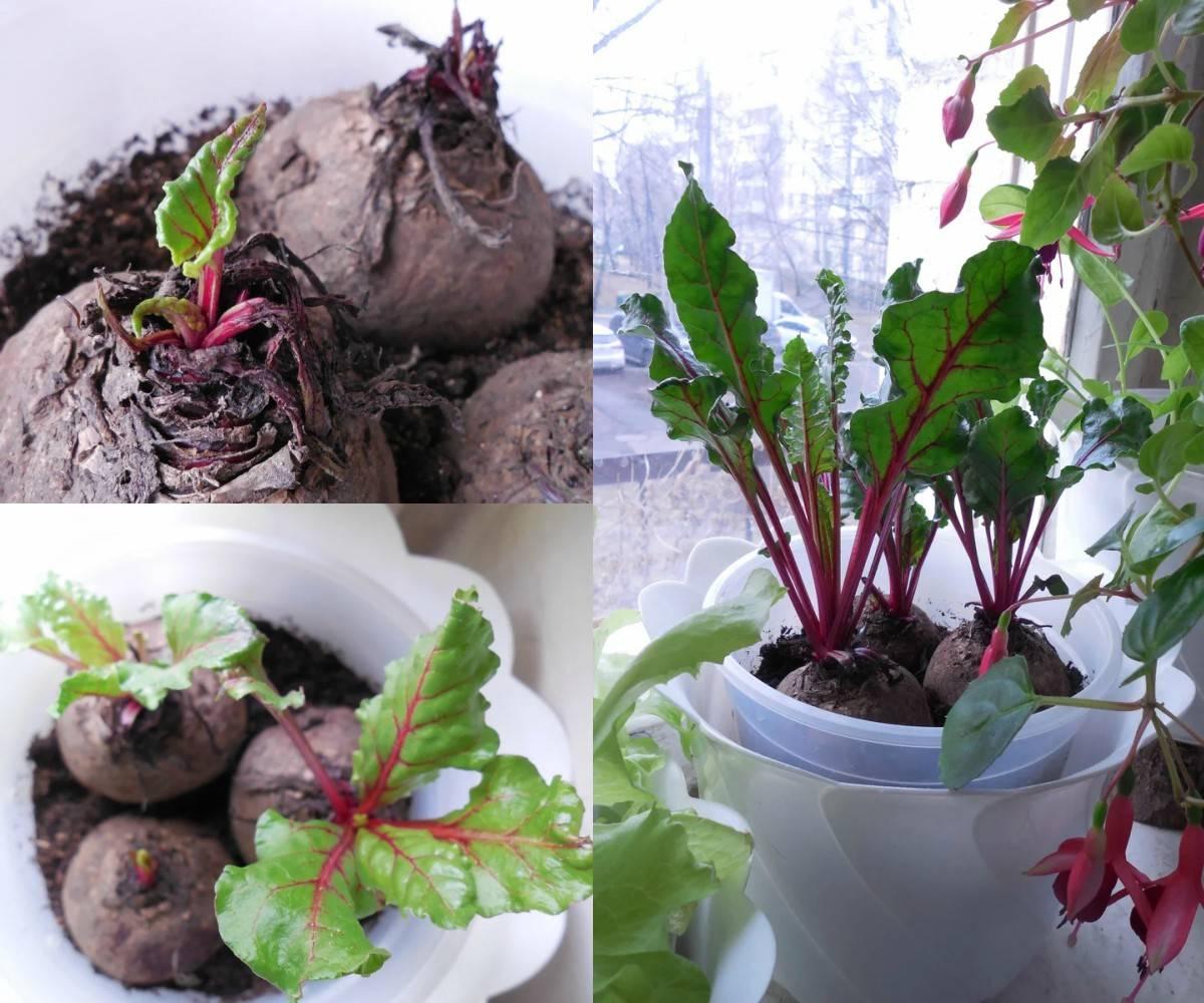 выращивание зелени свеклы