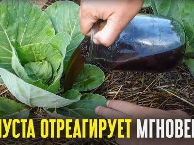 Какие удобрения вносить при высадке капусты