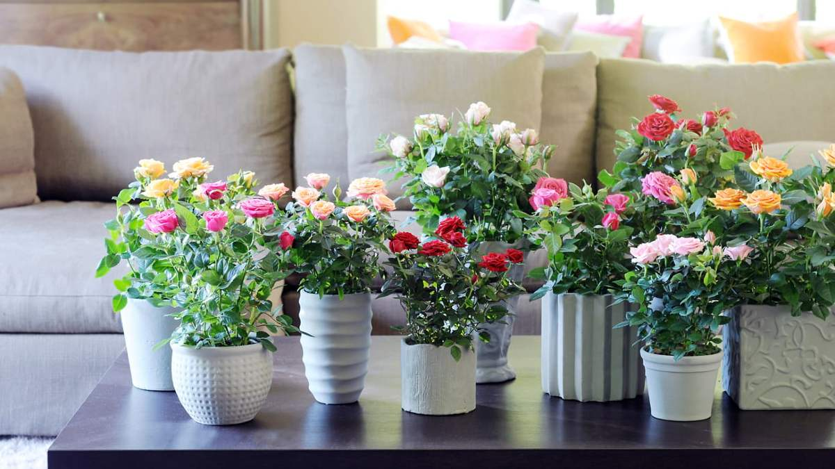 Уход за комнатной розой: как вырастить капризную красавицу
