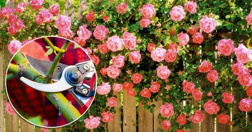 отцветшие розы