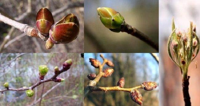 Лечебные свойства весенних почек