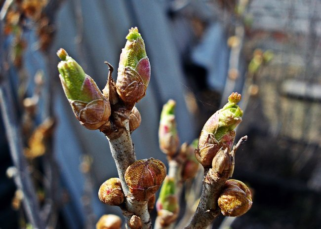 Лечебные свойства почек смородины