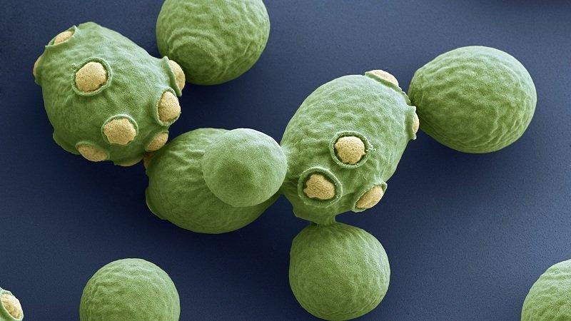 wzór komórek drożdży