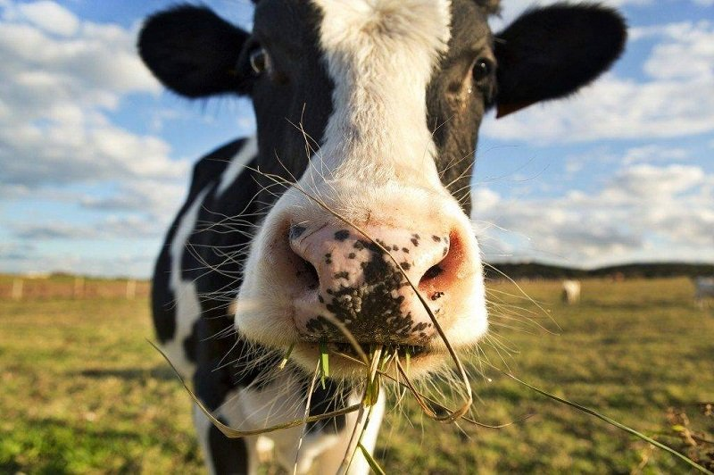вред говядины
