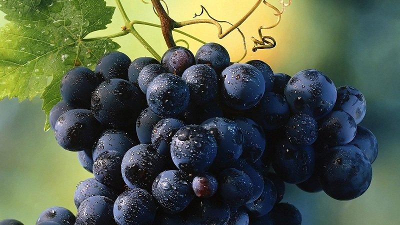 Как вырастить виноград в горшке