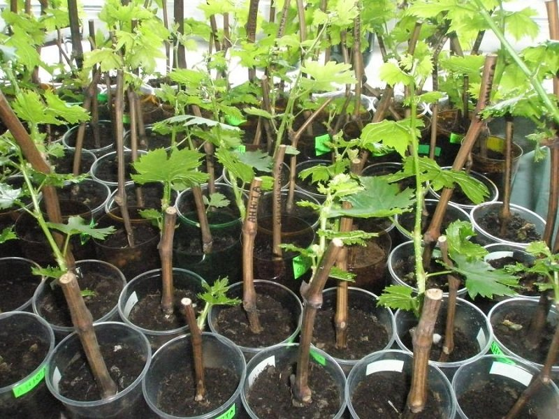 виноградные ростки в пластиковых стаканчках