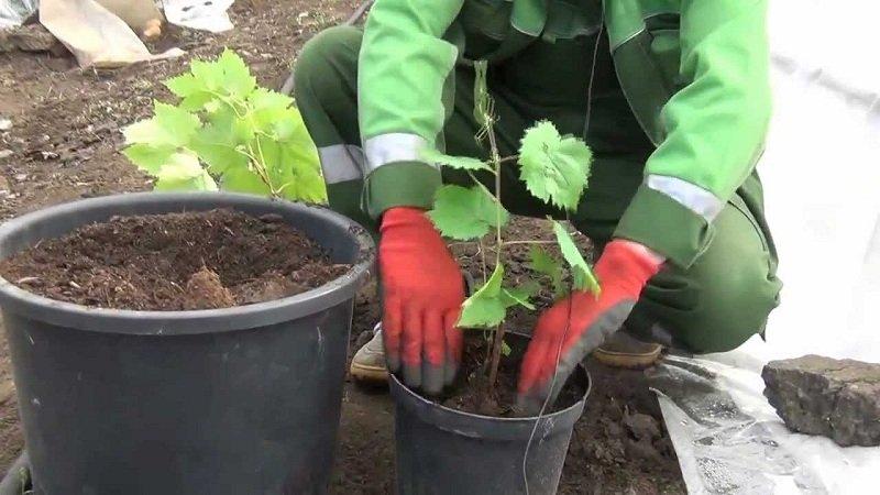 когда высаживать виноград