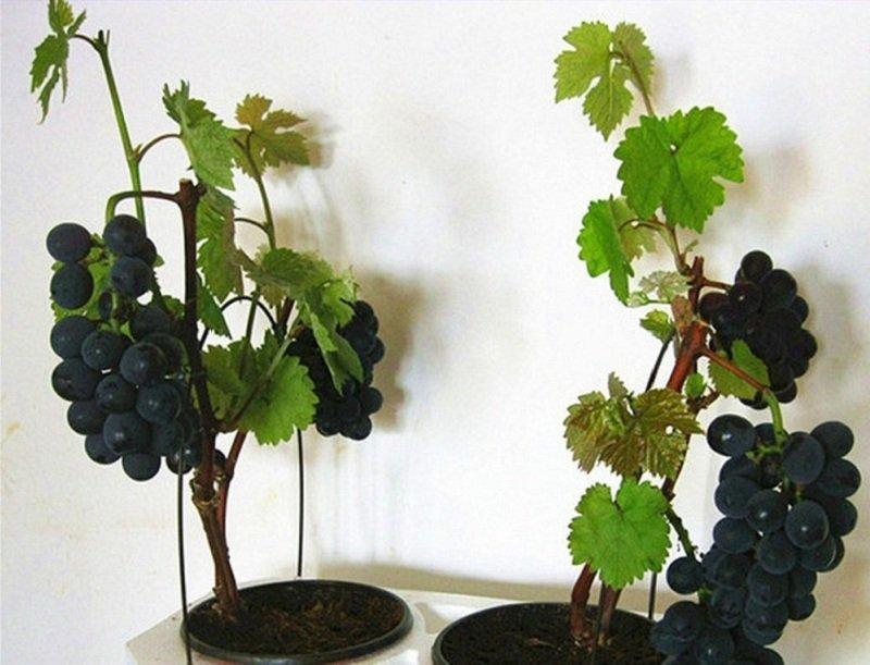 Удобрение виногрдной лозы