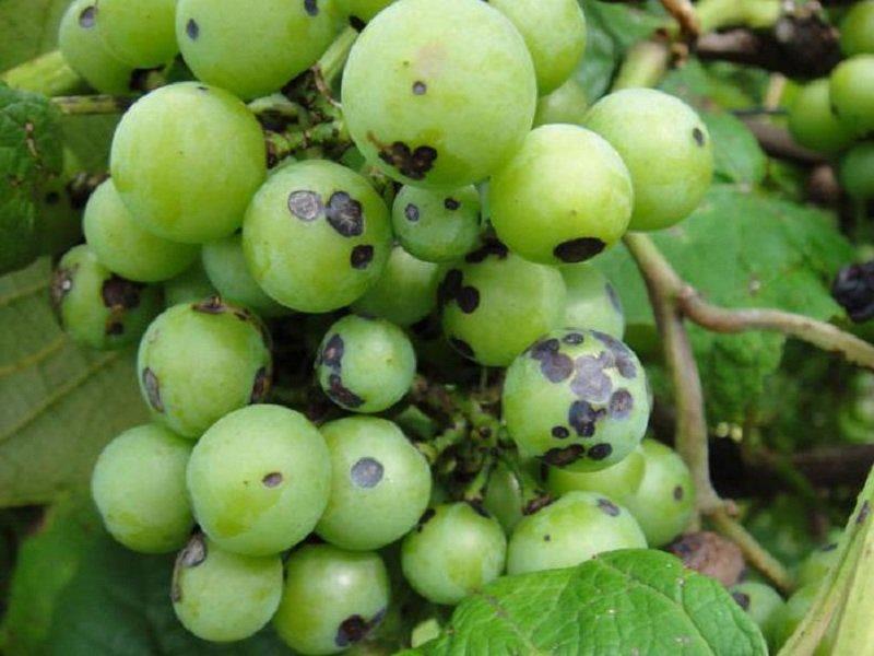 Удобрение комнатного винограда