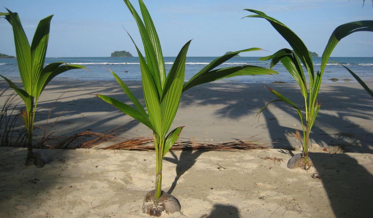 Можно ли есть зеленый кокос и еще 4 интересных факта
