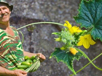 Пустоцвет огурцов: как увеличить урожай